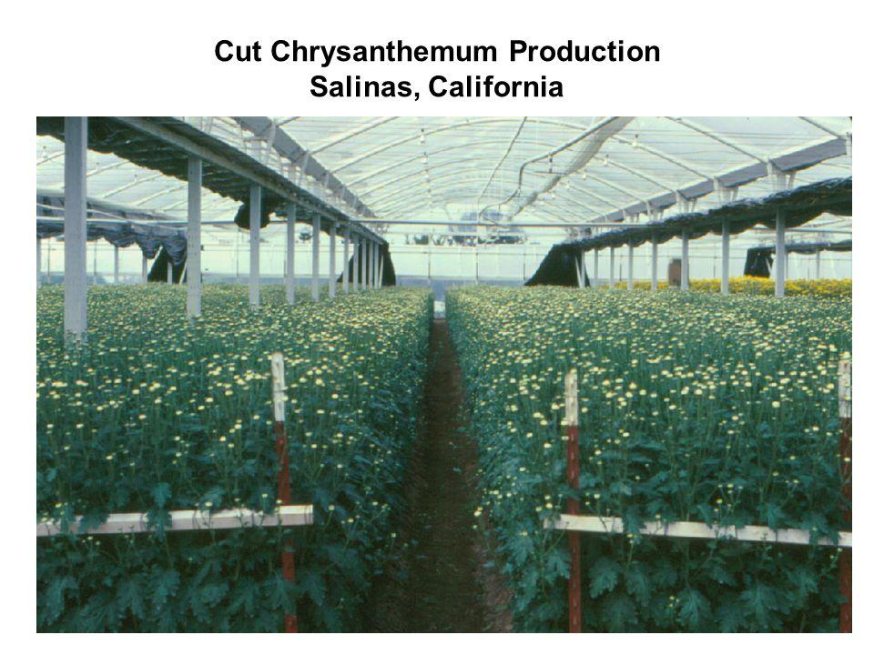 Cut Chrysanthemum Production Salinas, California