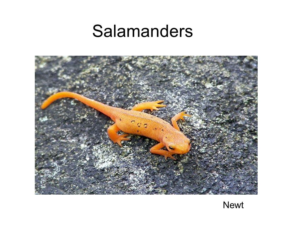 Salamanders Newt