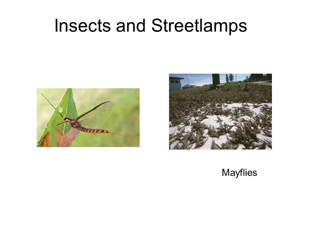 Insects and Streetlamps Mayflies