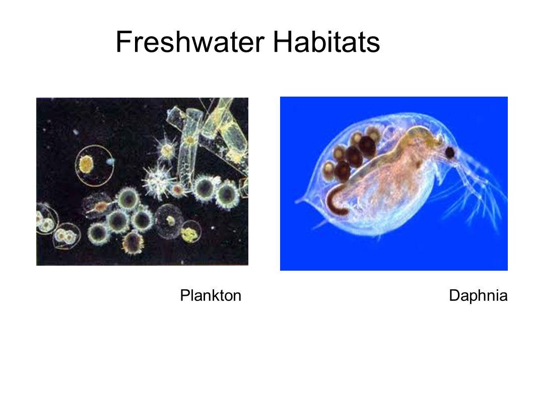 Freshwater Habitats DaphniaPlankton