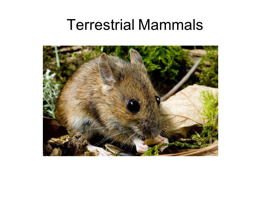 Terrestrial Mammals
