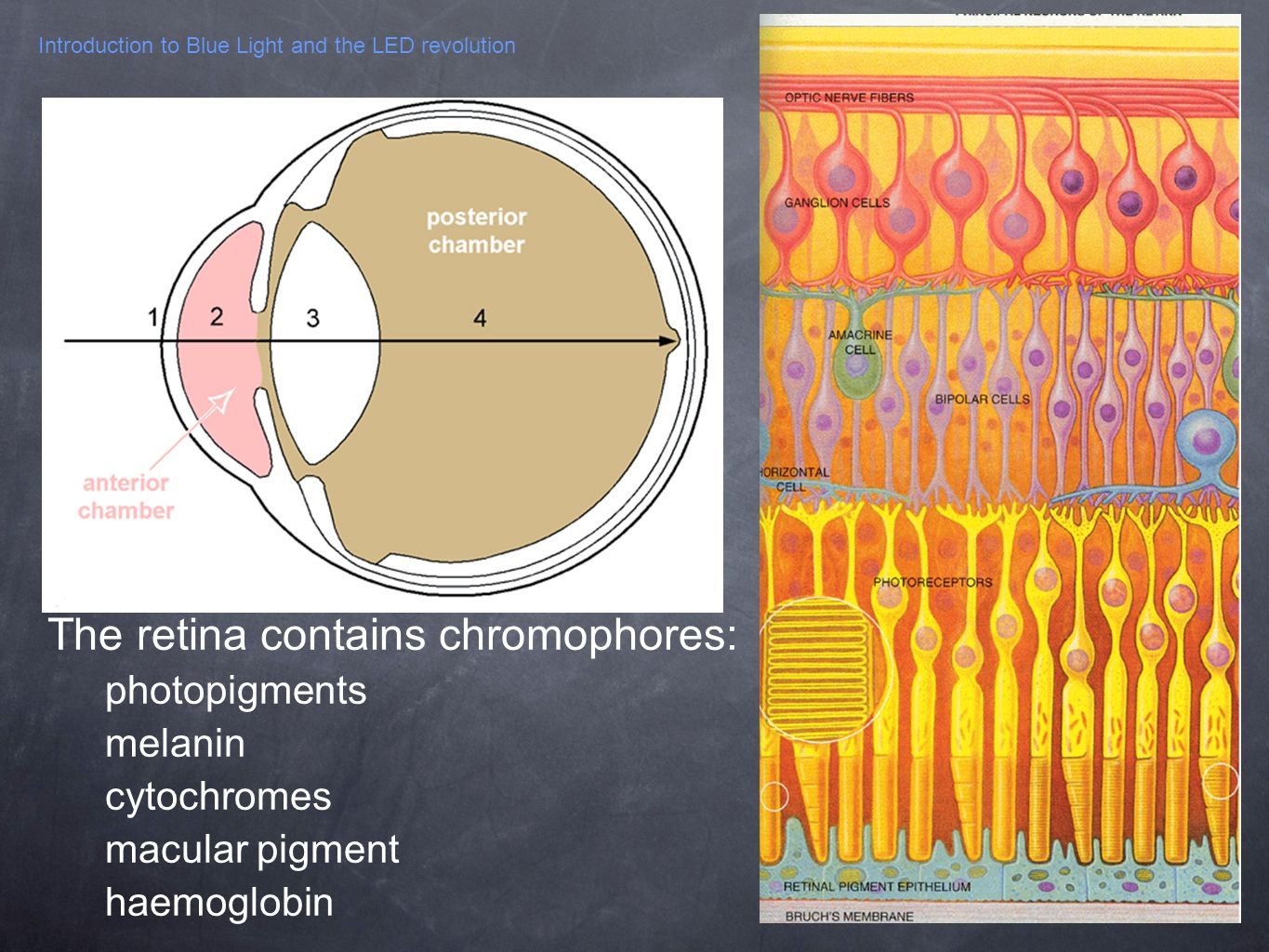 Introduction to Blue Light and the LED revolution The retina contains chromophores: photopigments melanin cytochromes macular pigment haemoglobin