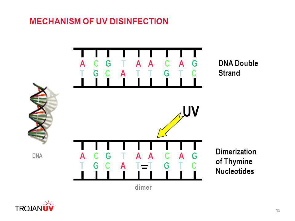 19 ACGTAAA TGCATTT C G G C ACGTAAA TGCATTT C G G C UV DNA Double Strand Dimerization of Thymine Nucleotides dimer DNA MECHANISM OF UV DISINFECTION