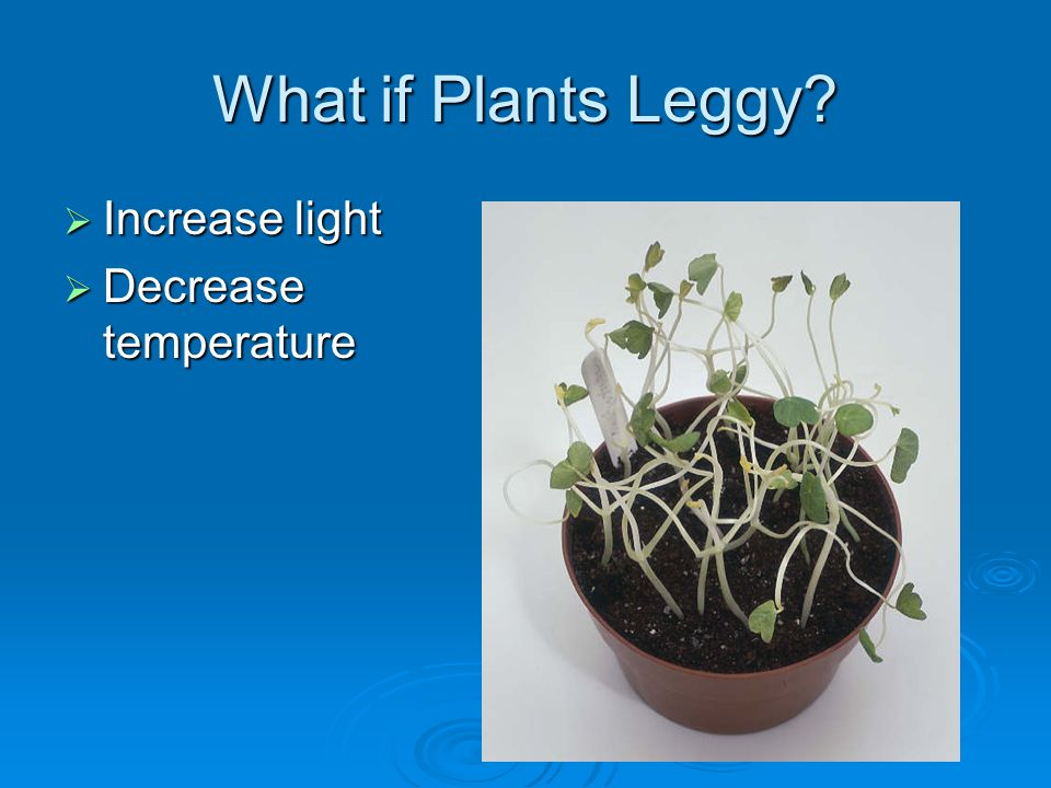 What if Plants Leggy Increase light Increase light Decrease temperature Decrease temperature
