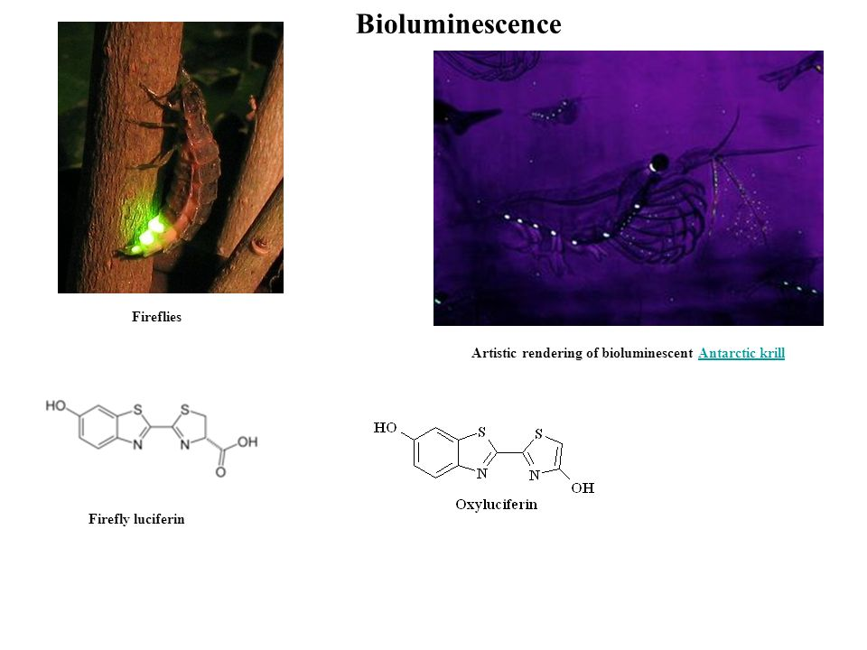 Bioluminescence Artistic rendering of bioluminescent Antarctic krillAntarctic krill Fireflies Firefly luciferin