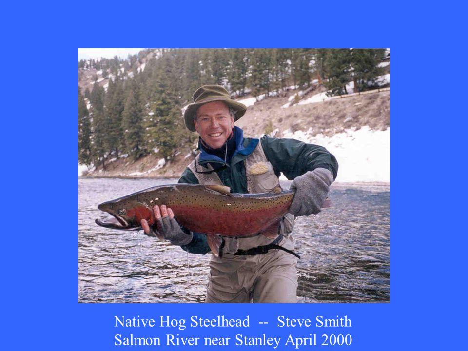 Native Hog Steelhead -- Steve Smith Salmon River near Stanley April 2000