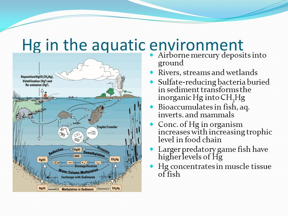 Toxicity to aquatic life Once mercury is in surface water it goes through complex cycle Brought down to sediment and into food chain or released back into atmosphere Levels of dissolved organic carbon and low pH levels enhance mobility of Hg making it more likely to enter food chain