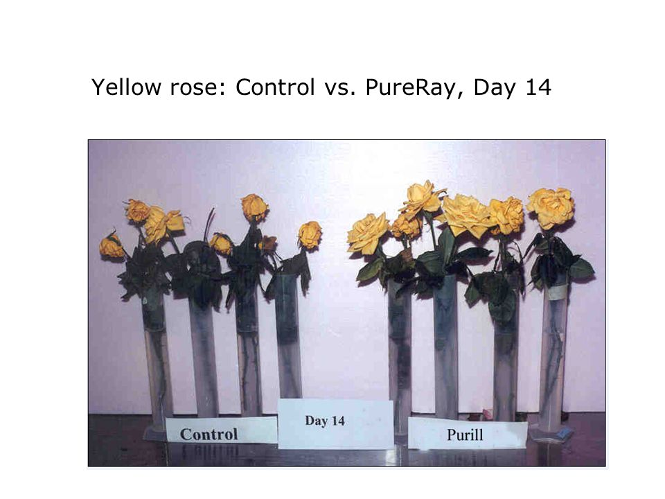 Yellow rose: Control vs. PureRay, Day 14