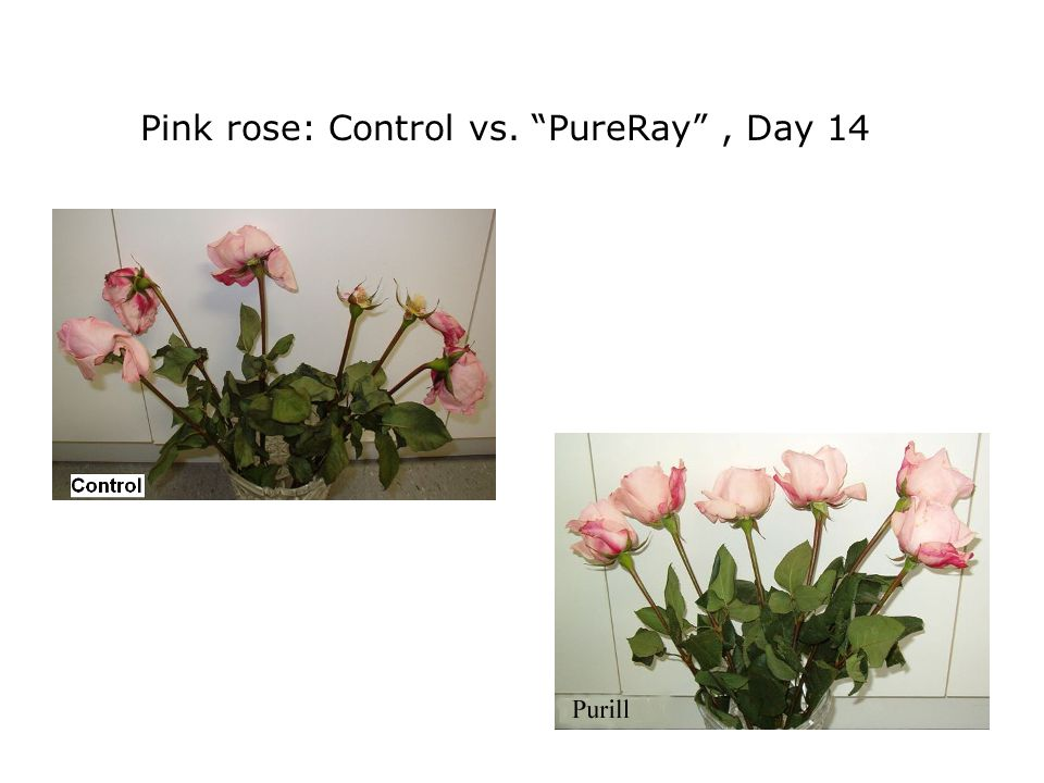 Pink rose: Control vs. PureRay, Day 14