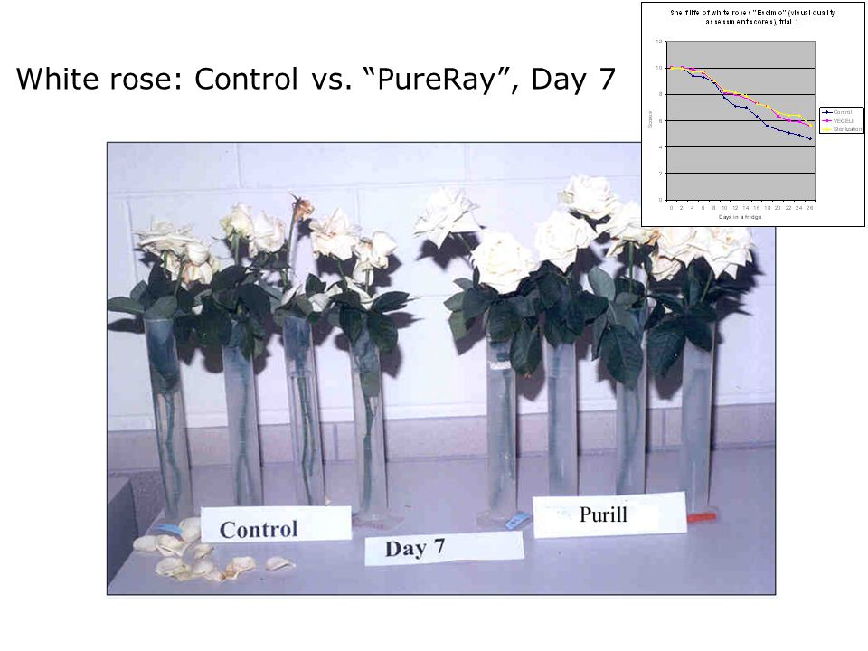 White rose: Control vs. PureRay, Day 7