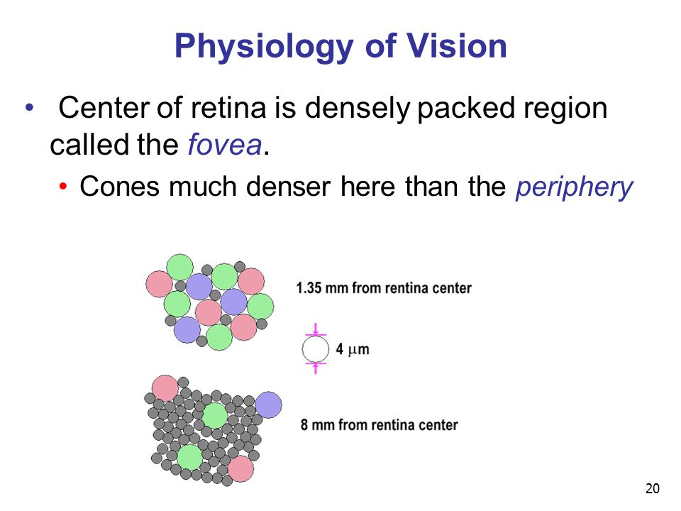 20 Physiology of Vision Center of retina is densely packed region called the fovea. Cones much denser here than the periphery