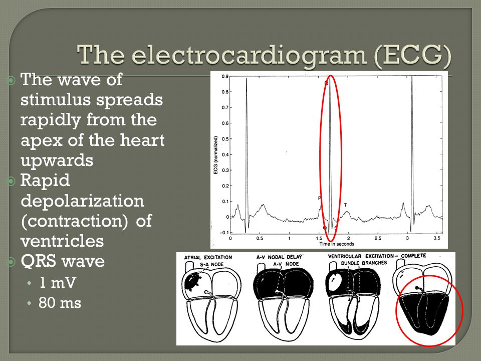 The ventricular muscle cells possess a relatively long action potential 300-350 ms Result: iso- electric segment ST segment 100-120 ms