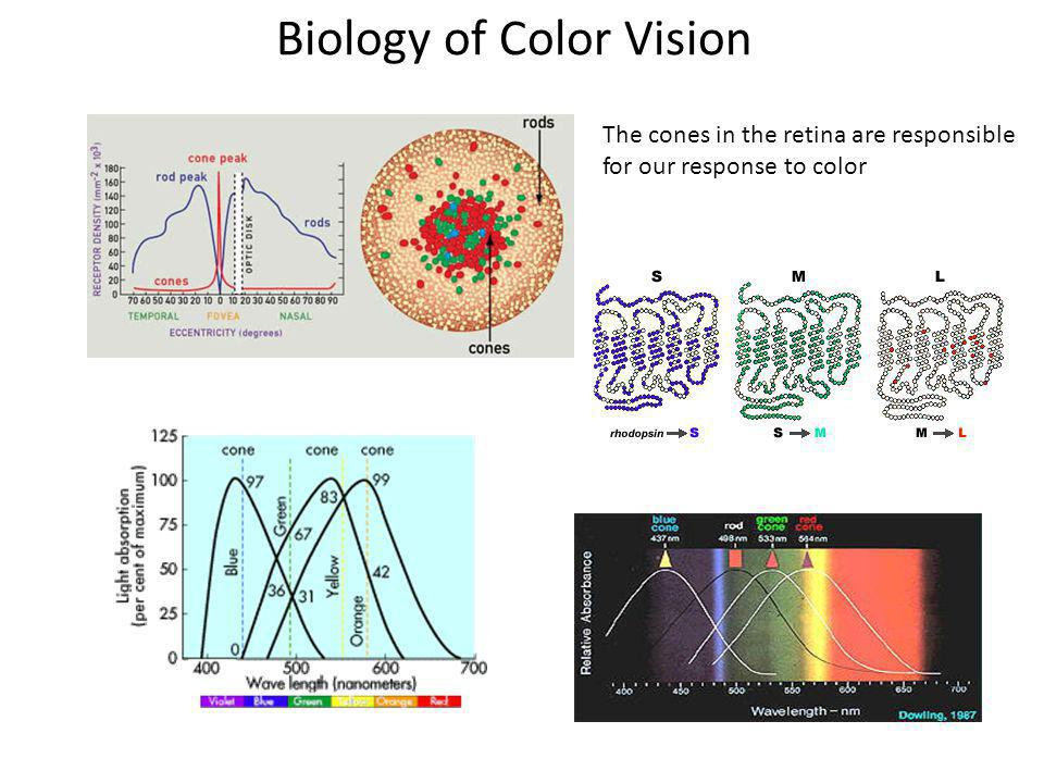 Biology of Color Vision The cones in the retina are responsible for our response to color