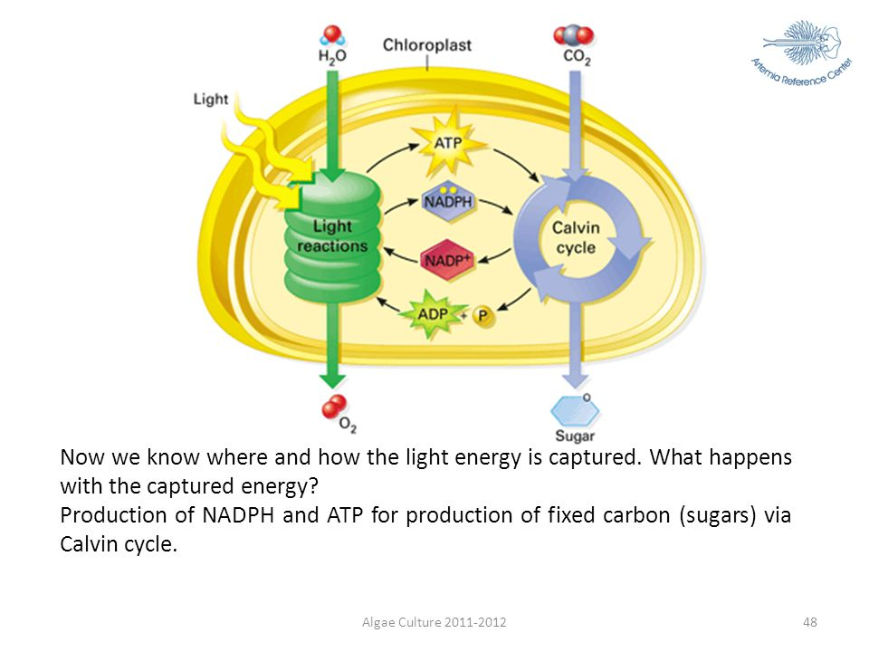 Algae Culture 2011-201248 Now we know where and how the light energy is captured. What happens with the captured energy? Production of NADPH and ATP f