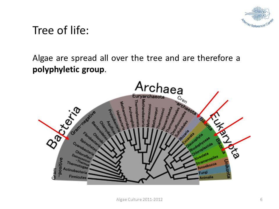 Algae Culture 2011-20126 Tree of life: Algae are spread all over the tree and are therefore a polyphyletic group.
