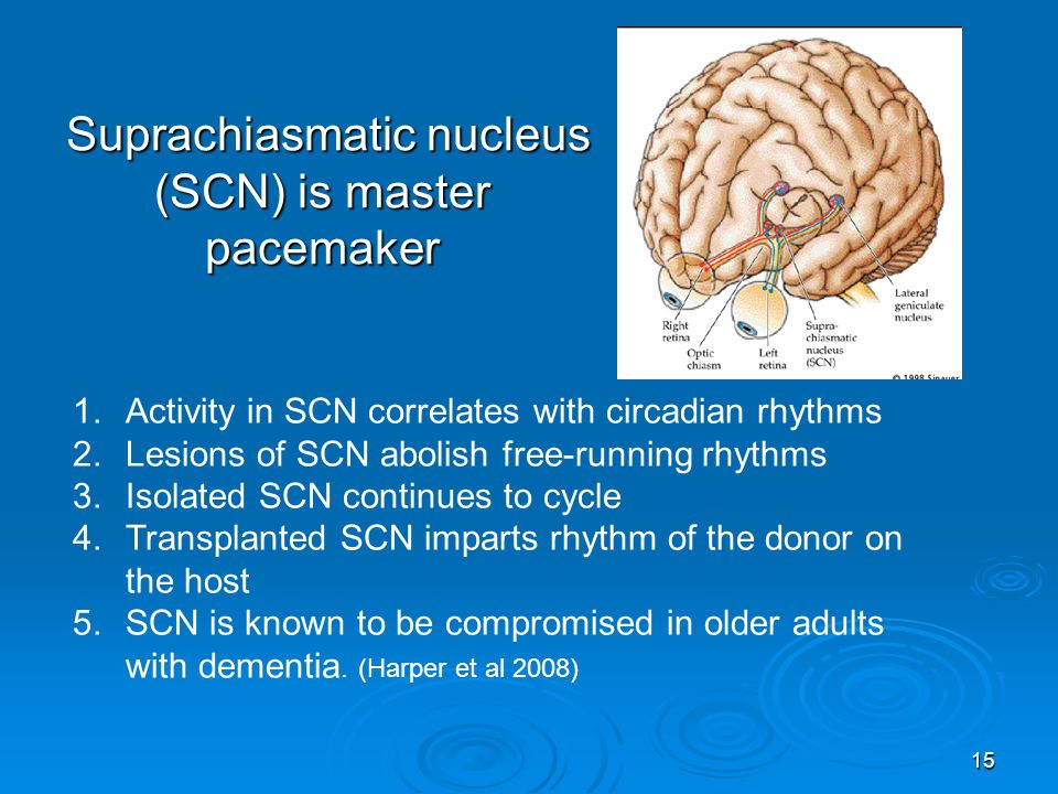 Suprachiasmatic nucleus (SCN) is master pacemaker Suprachiasmatic nucleus (SCN) is master pacemaker 1.Activity in SCN correlates with circadian rhythm