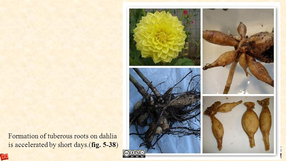 71 Formation of tuberous roots on dahlia is accelerated by short days.(fig. 5-38)