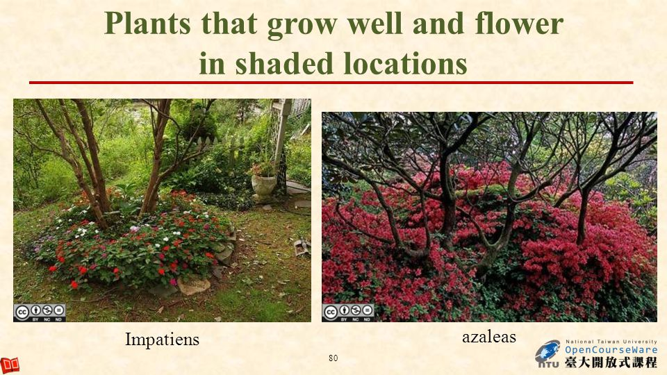 80 Impatiens azaleas Plants that grow well and flower in shaded locations