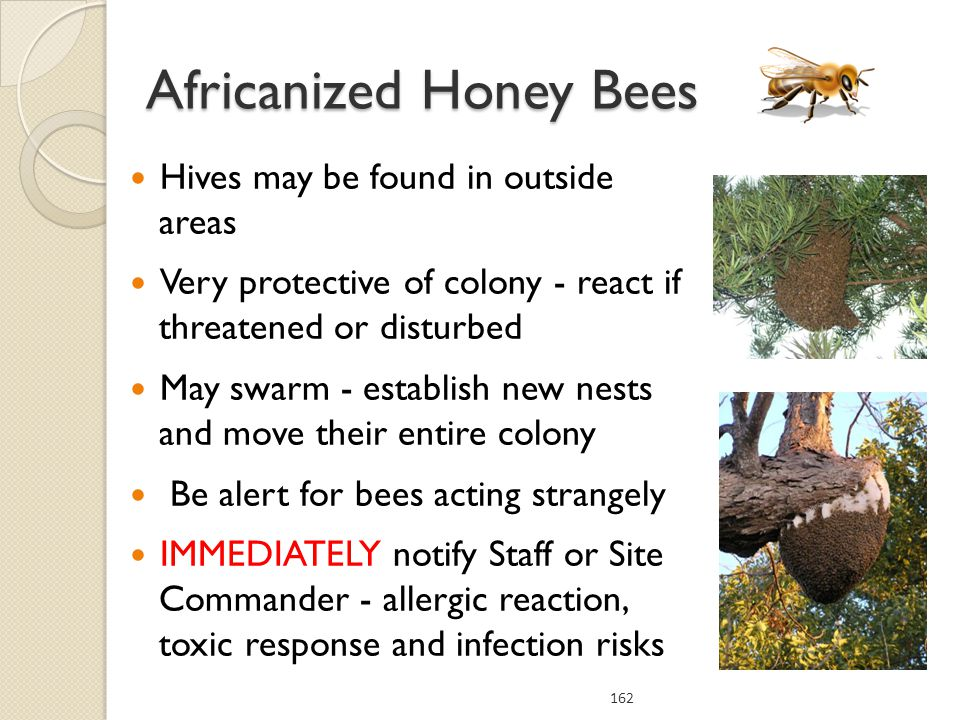 Hives may be found in outside areas Very protective of colony - react if threatened or disturbed May swarm - establish new nests and move their entire colony Be alert for bees acting strangely IMMEDIATELY notify Staff or Site Commander - allergic reaction, toxic response and infection risks 162 Africanized Honey Bees