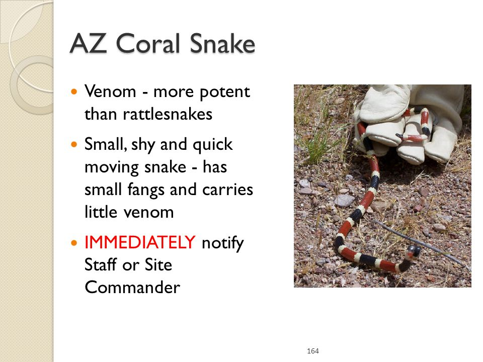 Venom - more potent than rattlesnakes Small, shy and quick moving snake - has small fangs and carries little venom IMMEDIATELY notify Staff or Site Commander 164 AZ Coral Snake