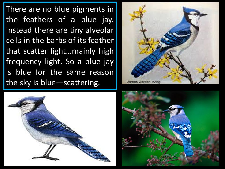 There are no blue pigments in the feathers of a blue jay. Instead there are tiny alveolar cells in the barbs of its feather that scatter light…mainly