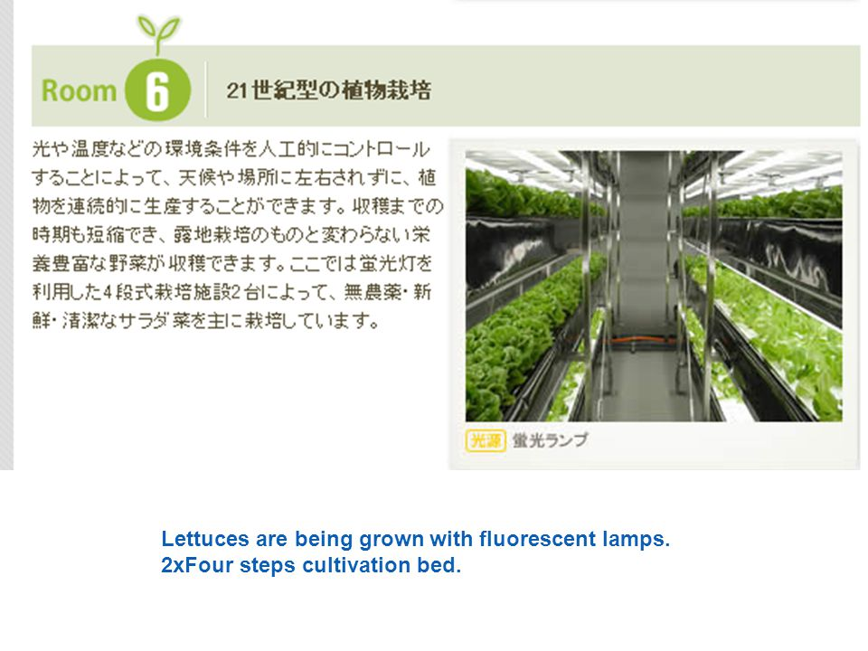 Lettuces are being grown with fluorescent lamps. 2xFour steps cultivation bed.