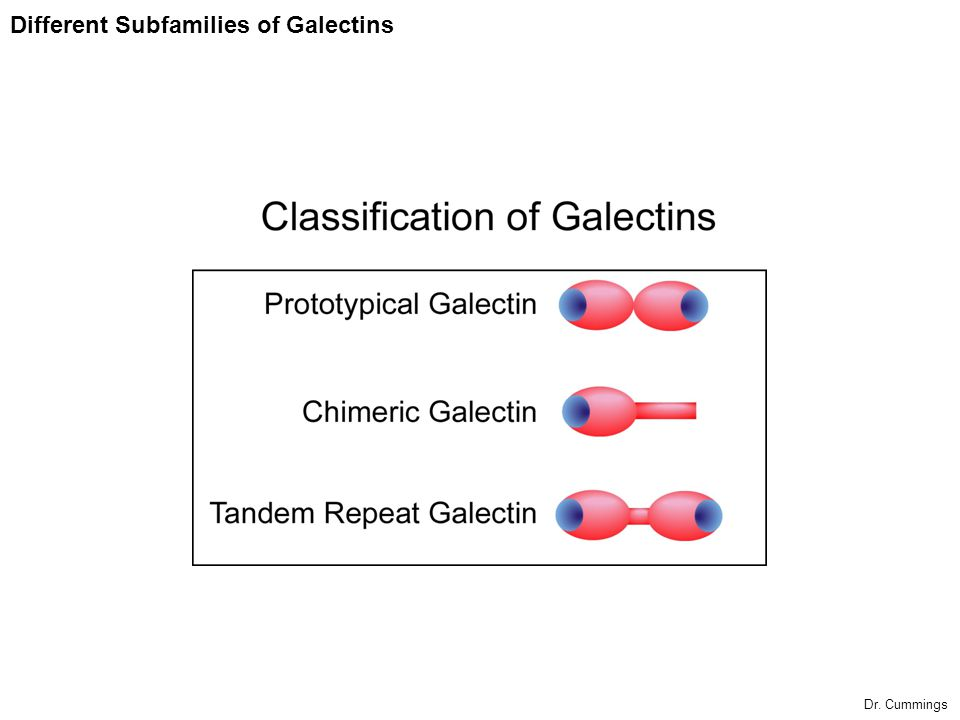 Potential Involvement of Galectins in Immune Regulation and Cancer Galectin-1 may be a negative regulator of immune response induces death of T- cells inhibits cell growth Inhibits cell-matrix interactions In experimental animal models of inflammation galectin-1 reduces tissue injury Galectin-1, -7, -8, -9, and -12 all are reported have apoptosis-inducing activity to certain types of cells By contrast, Galectin-3 has proinflammatory properties.