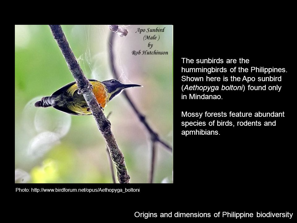 Photo: http://www.birdforum.net/opus/Aethopyga_boltoni Origins and dimensions of Philippine biodiversity The sunbirds are the hummingbirds of the Phil