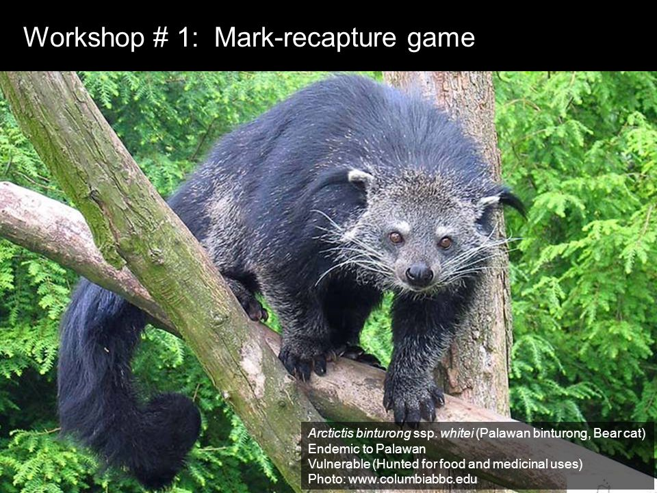 Workshop # 1: Mark-recapture game Arctictis binturong ssp.