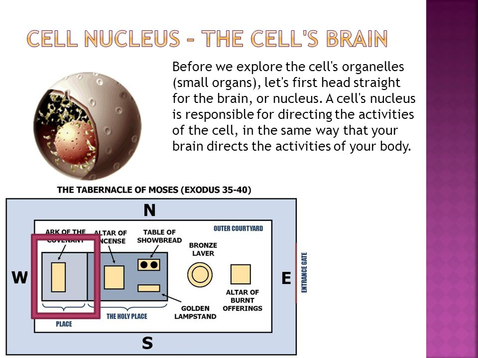 Before we explore the cell's organelles (small organs), let's first head straight for the brain, or nucleus. A cell's nucleus is responsible for direc
