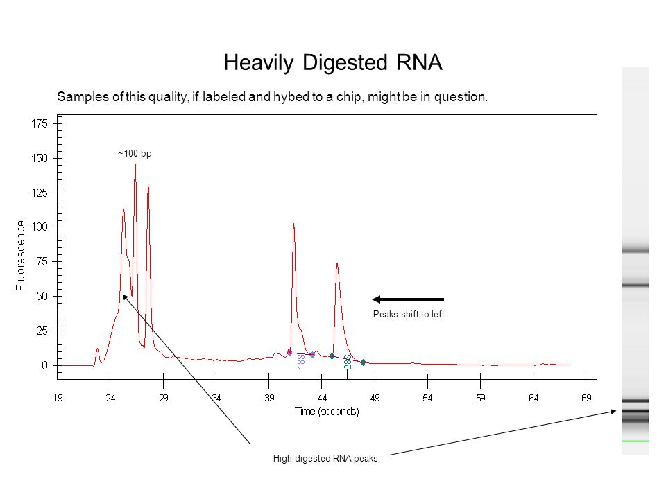 Heavily Digested RNA Peaks shift to left High digested RNA peaks Samples of this quality, if labeled and hybed to a chip, might be in question. ~100 b