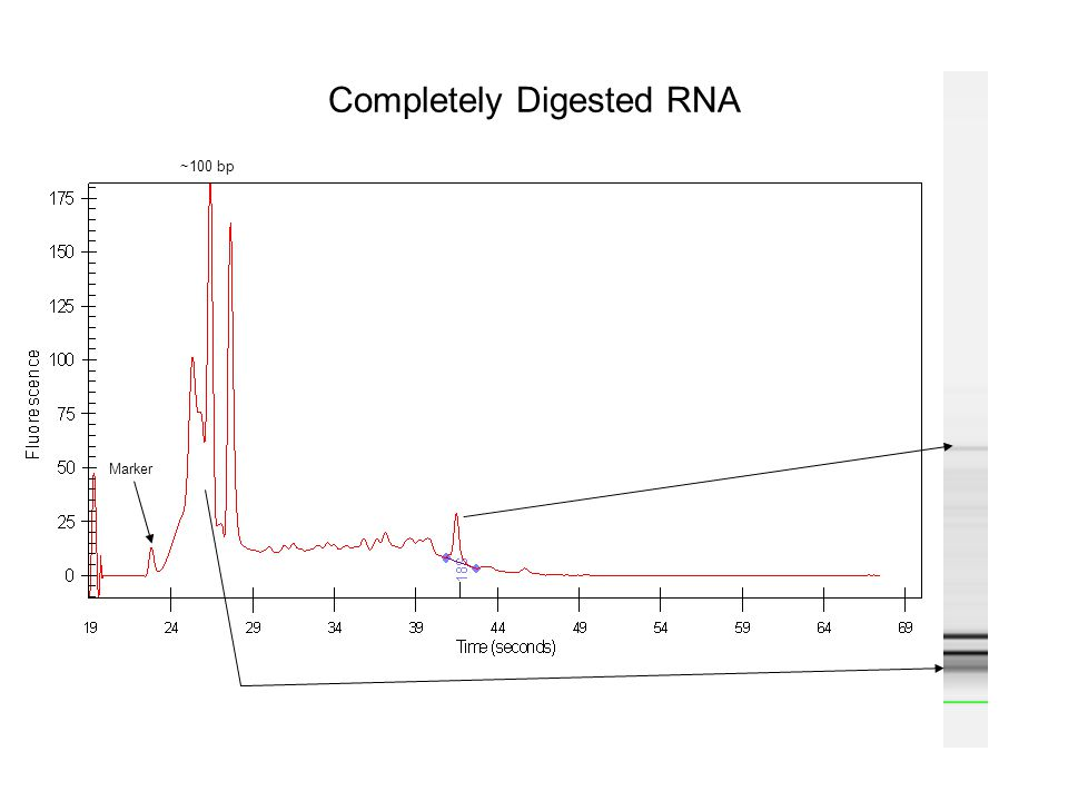 Completely Digested RNA ~100 bp Marker