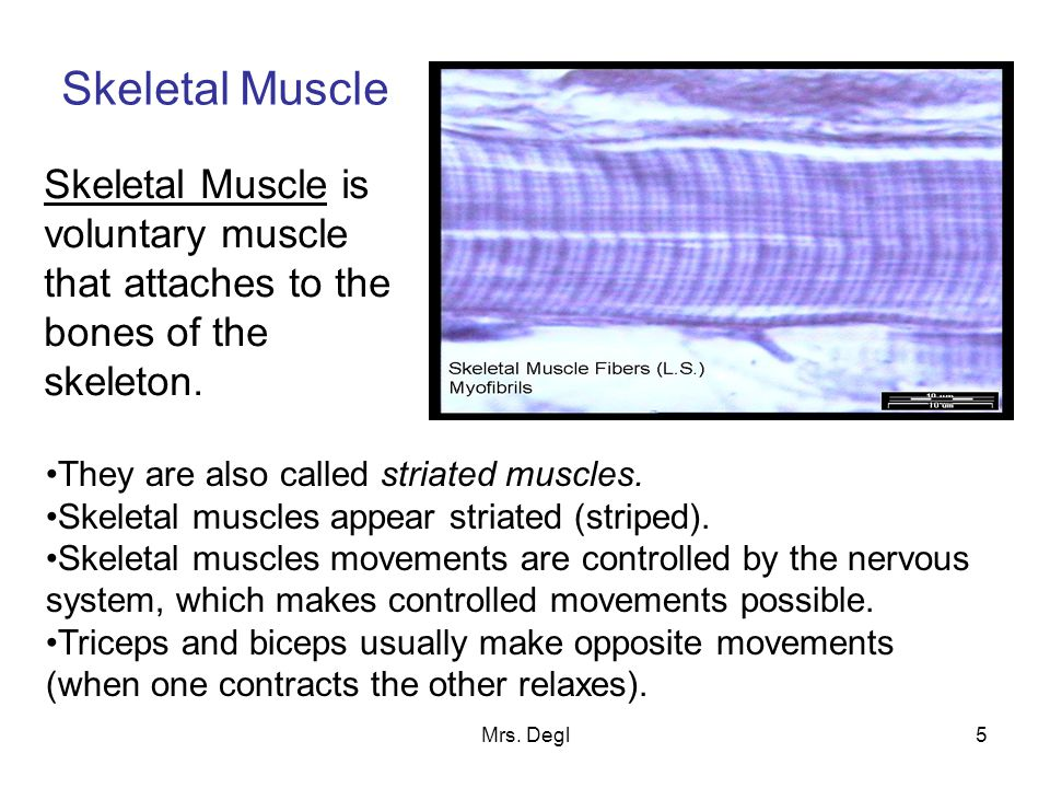 Mrs. Degl5 Skeletal Muscle Skeletal Muscle is voluntary muscle that attaches to the bones of the skeleton. They are also called striated muscles. Skel