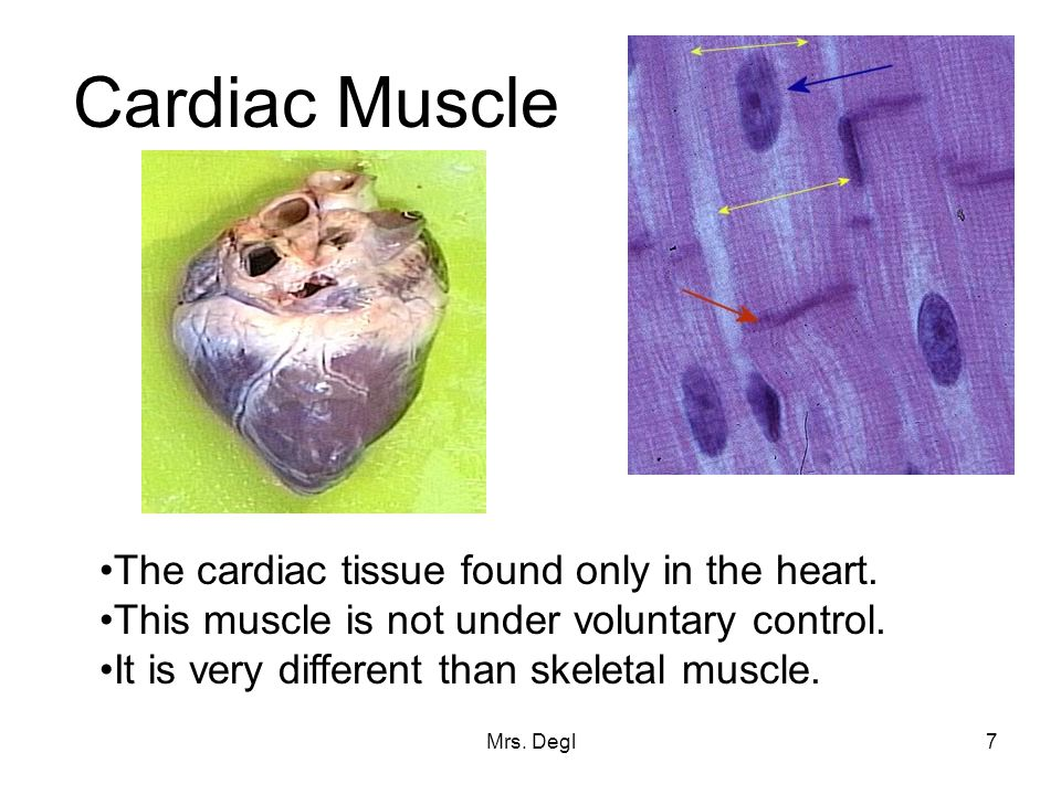 Mrs.Degl7 Cardiac Muscle The cardiac tissue found only in the heart.