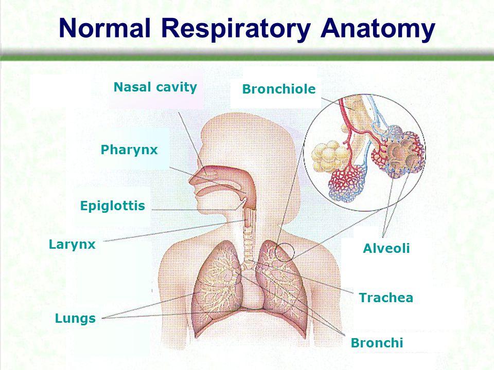 Normal Respiratory Anatomy Nasal cavity Pharynx Epiglottis Larynx Lungs Bronchi Trachea Bronchiole Alveoli