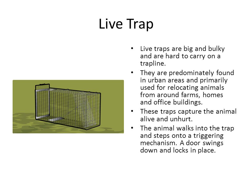Live Trap Live traps are big and bulky and are hard to carry on a trapline. They are predominately found in urban areas and primarily used for relocat