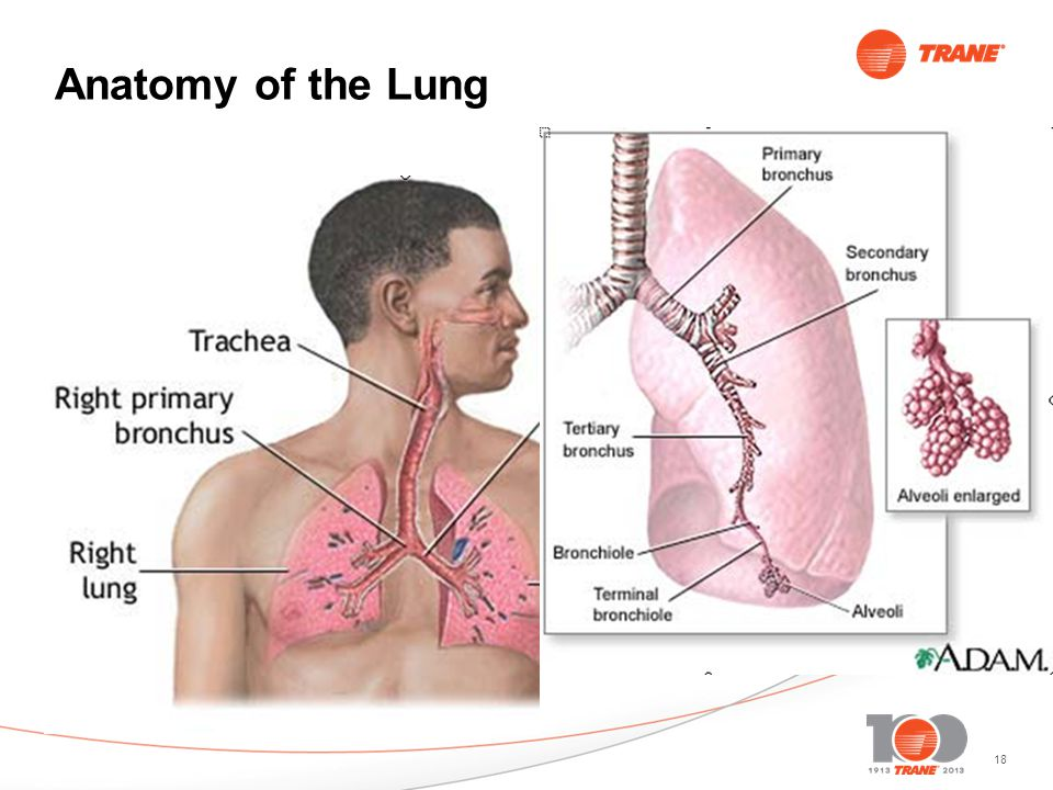 18 Anatomy of the Lung