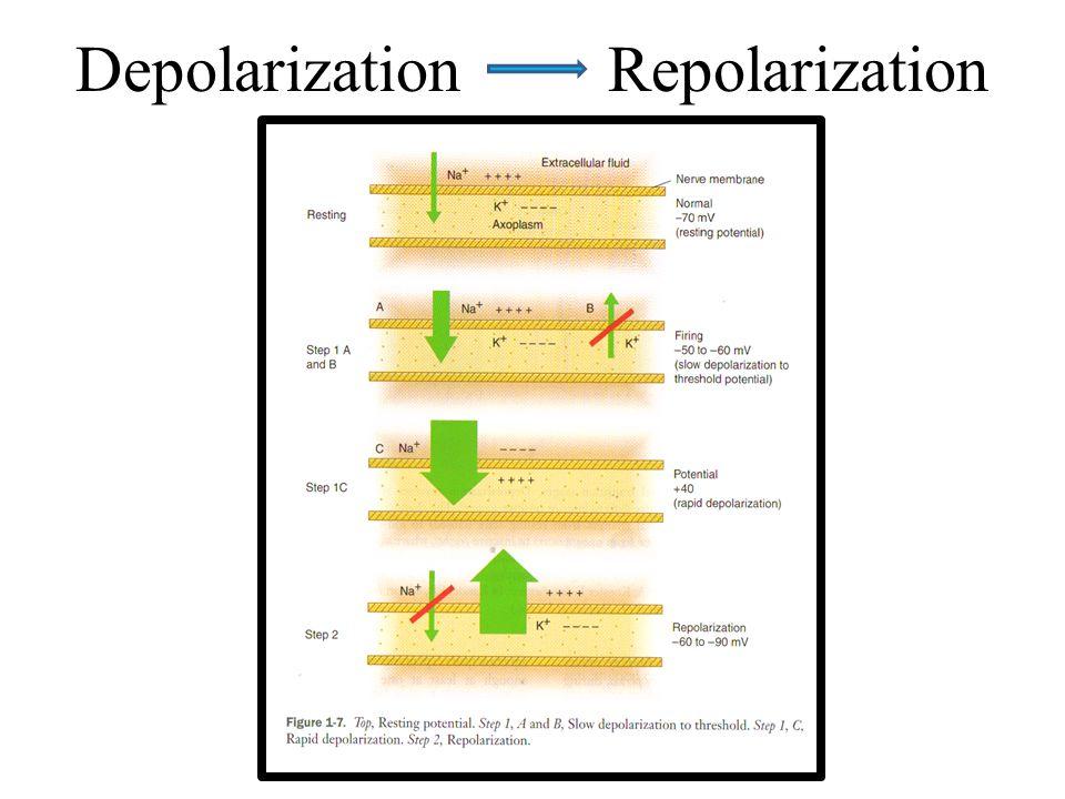 Depolarization Repolarization