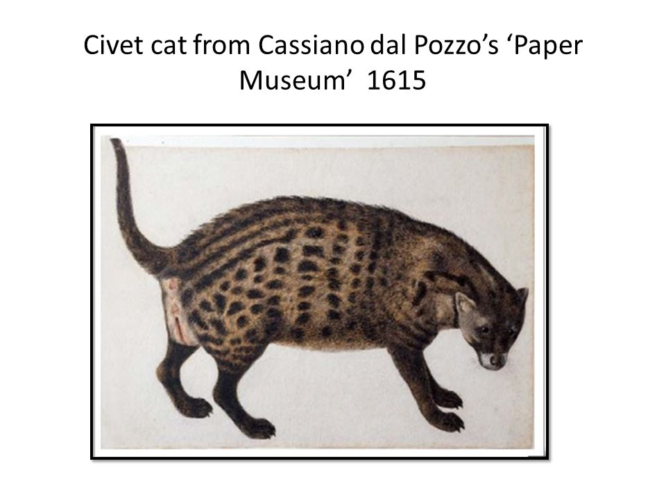 Civet cat from Cassiano dal Pozzos Paper Museum 1615