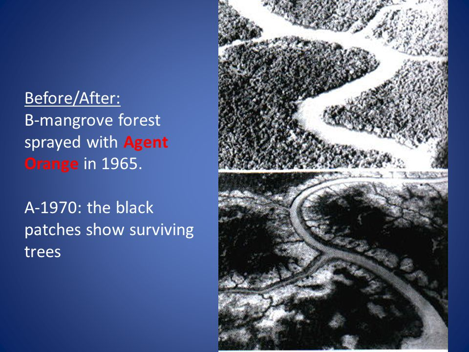Before/After: B-mangrove forest sprayed with Agent Orange in 1965. A-1970: the black patches show surviving trees