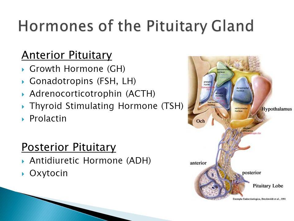 Anterior Pituitary Growth Hormone (GH) Gonadotropins (FSH, LH) Adrenocorticotrophin (ACTH) Thyroid Stimulating Hormone (TSH) Prolactin Posterior Pituitary Antidiuretic Hormone (ADH) Oxytocin