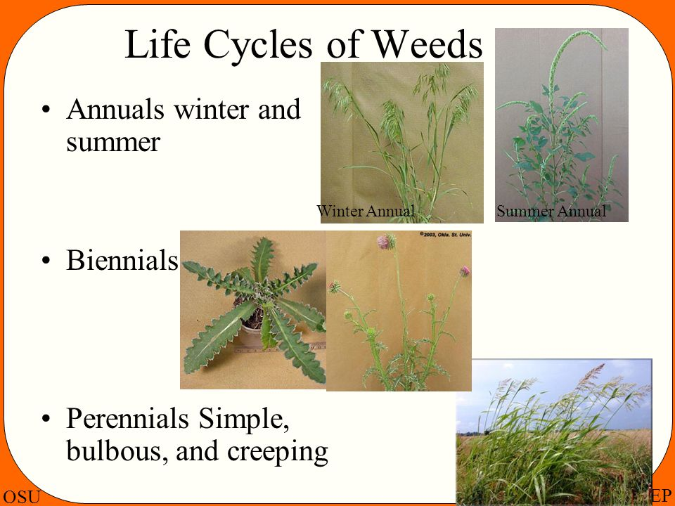 OSU PSEP Life Cycles of Weeds Annuals winter and summer Biennials Perennials Simple, bulbous, and creeping Winter AnnualSummer Annual