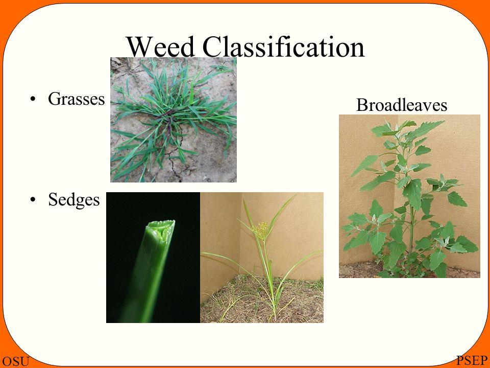 OSU PSEP Weed Classification Grasses Sedges Broadleaves