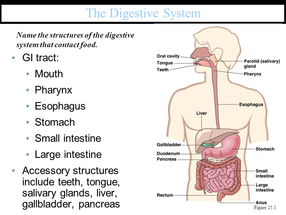 >300 species in mouth Stomach and small intestine have few biota Large numbers in large intestine, including: Bacteroides, E.