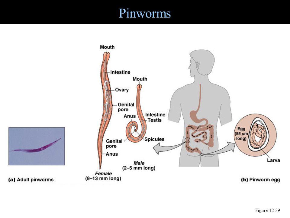 Pinworms Figure 12.29