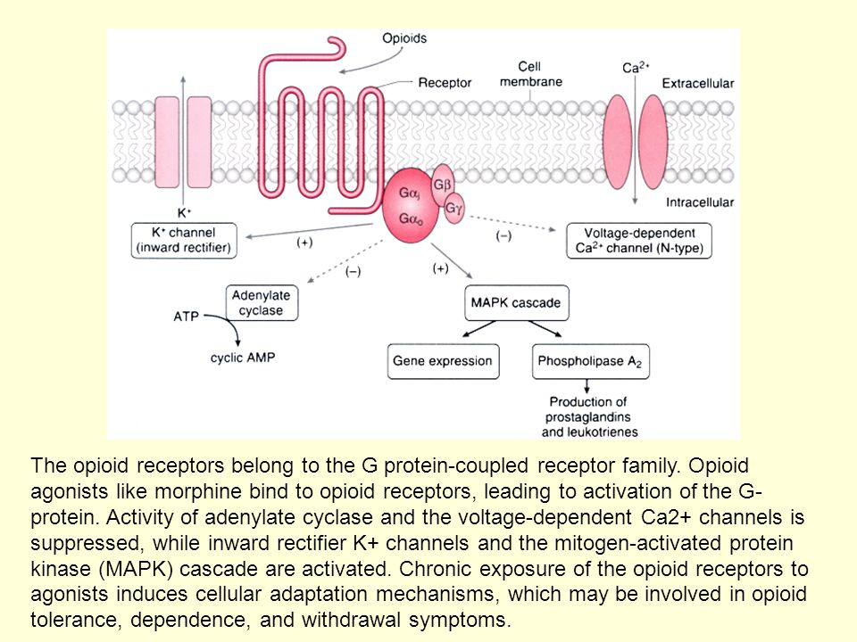 The opioid receptors belong to the G protein-coupled receptor family. Opioid agonists like morphine bind to opioid receptors, leading to activation of
