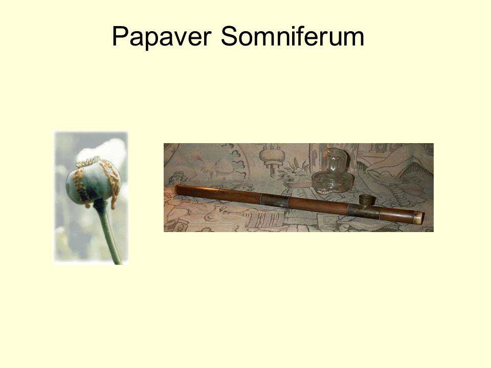Papaver Somniferum