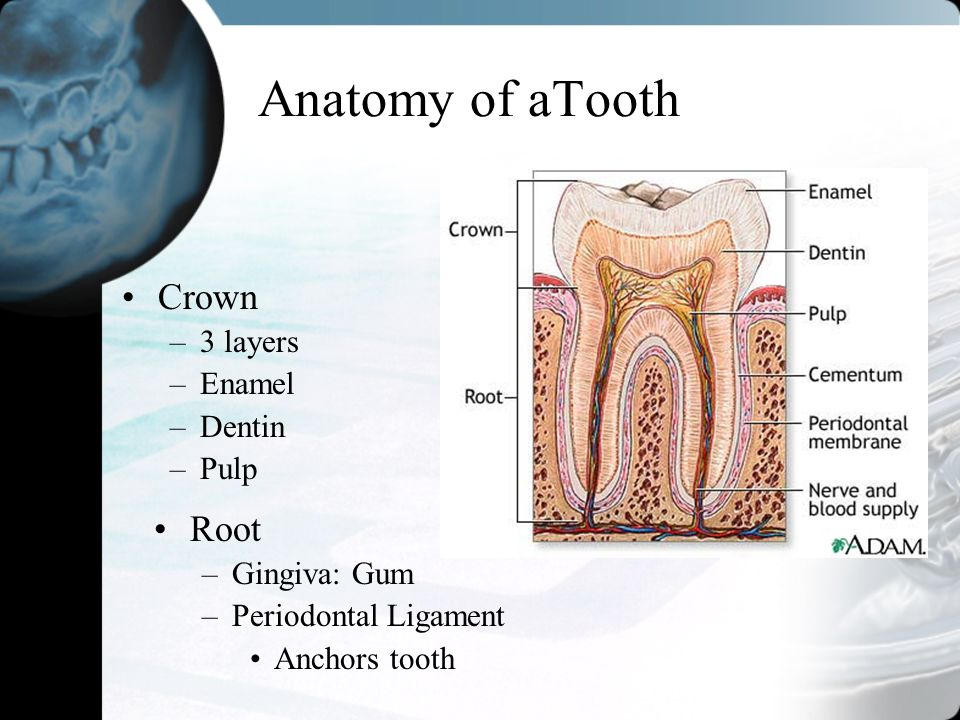 Anatomy of aTooth Root –Gingiva: Gum –Periodontal Ligament Anchors tooth Crown –3 layers –Enamel –Dentin –Pulp