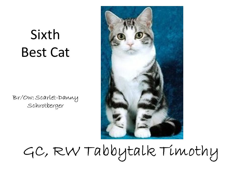 GC, RW Tabbytalk Timothy Br/Ow: Scarlet-Danny Schrotberger Sixth Best Cat