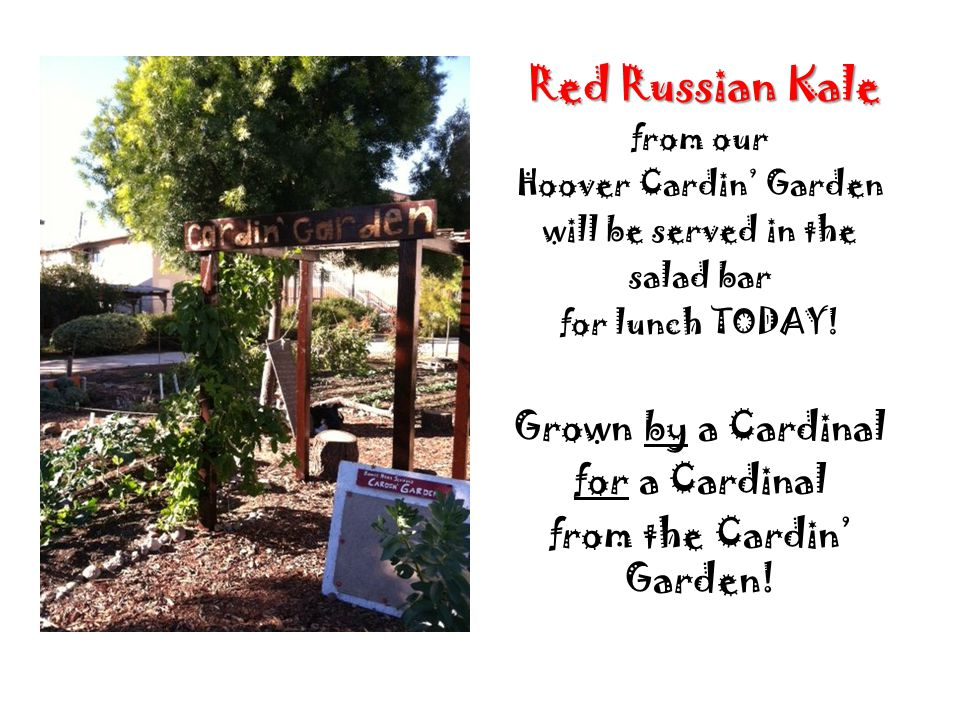 Red Russian Kale from our Hoover Cardin Garden will be served in the salad bar for lunch TODAY.
